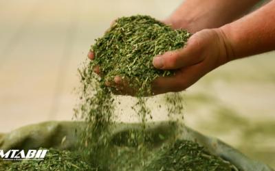 Sapeco da erva-mate: Conheça as formas mais eficientes